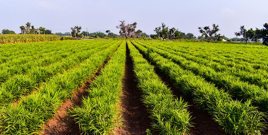 Field-of-Ginger-Crop-India