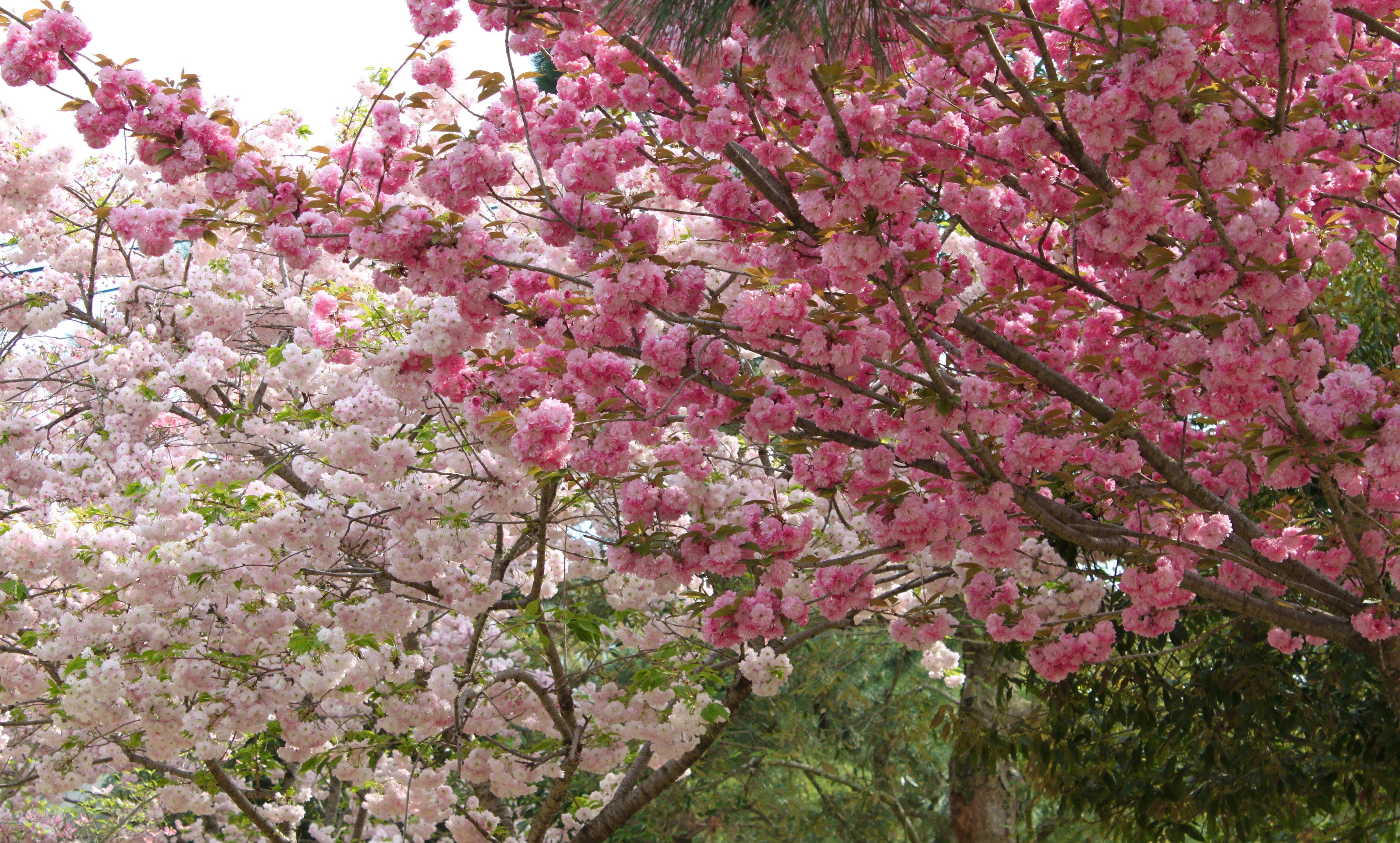 Japanese-Green-Tea-For-Cherry-Blossom-Season