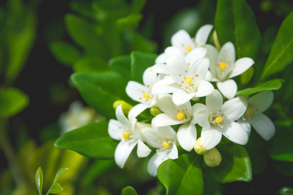 The allure of Jasmine