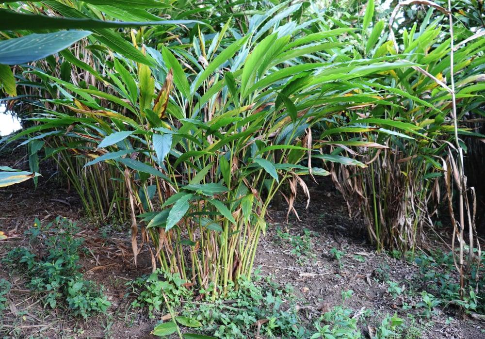 cardamom-plants