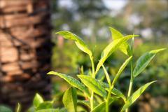 Black tea leaves growing in Assam