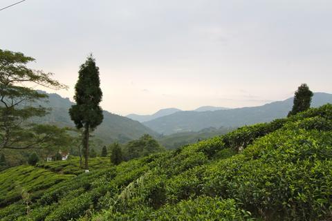 Tea growing in the hills of Assam