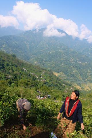 Women picking tea leaves in Darjeeling