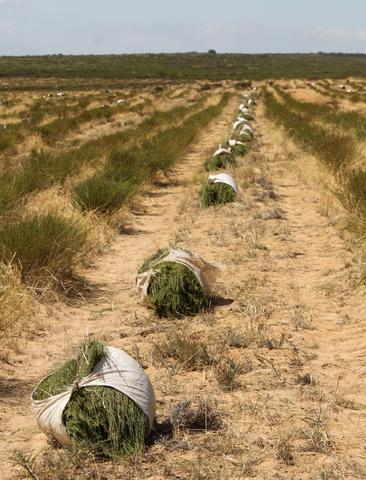 Rooibos in bundles on the ground